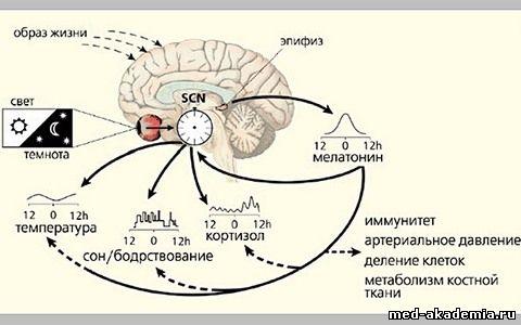 биоритмы человека скачать - фото 9